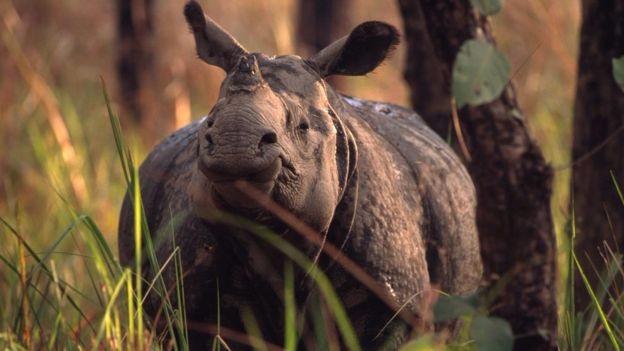 Національний парк Уджунг Кулон в Індонезії є останньою домівкою для яванських носорогів