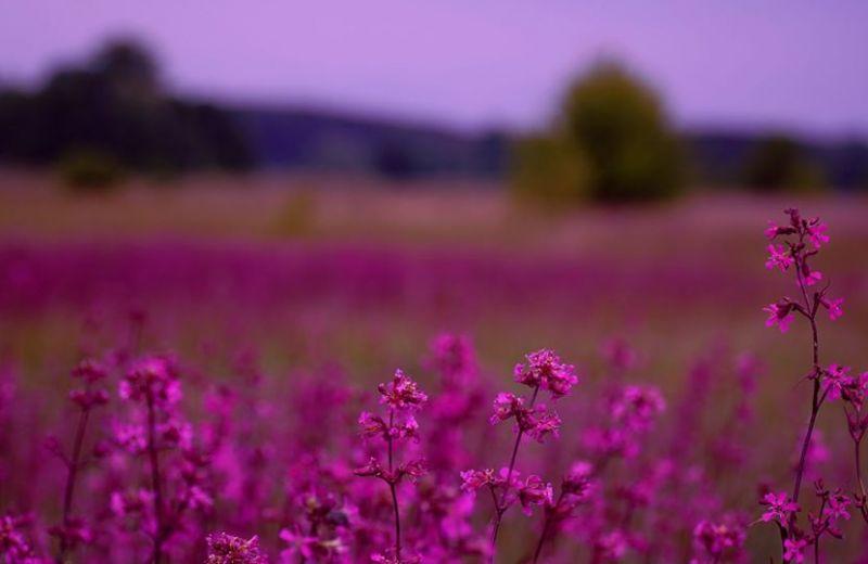 На околицях Більського городища квітують рожеві поля віскарії (ФОТО)